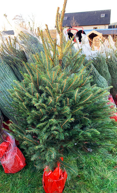 Norway Spruce Potted